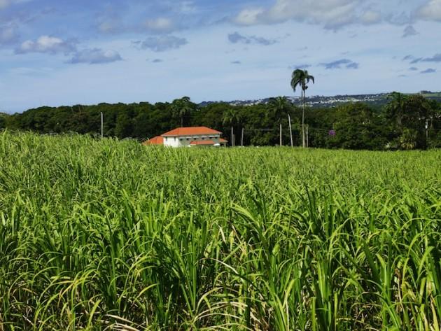Mount Gay Black Barrel Sugar Can Fields Barbados