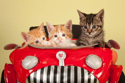 kittens-car